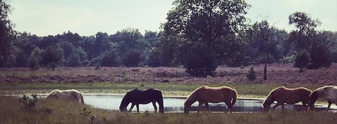Paarden in het wild